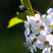 Cherry tree branch in spring against blur background — Stock Photo #18203689
