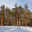 Pine forest in frozen day — Stock Photo