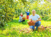 Family gathers apples in the garden — Stock Photo