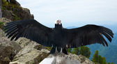 Andean condor in wildness — Stock Photo