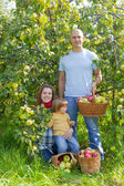 Happy family gathers apples — Stock Photo