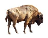 European bison over white — Stock Photo