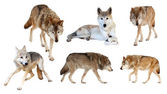 Wolves on white background — Stock Photo