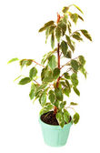 Ficus Benjamina in pot. Isolated on white — Stock Photo