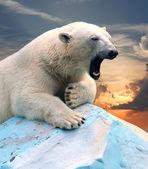 Lední medvěd proti západu slunce — Stock fotografie
