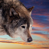 Head of wolf against sunset — Stock Photo