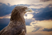 Sea eagle against sunset sky — Stock Photo