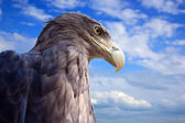 Eagle against blue sky — Stock Photo