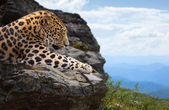 Leopard on stones — Stock fotografie