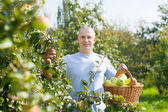 Man with apple harvest in orchard — Stock Photo