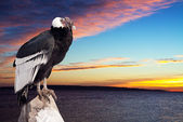 Andean condor against sunset sky — Stock Photo