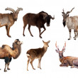 Stock Photo: set of artiodactyla mammal animals