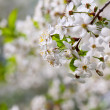 Stock Photo: Tree branch in bloom