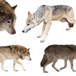 Stock Photo: Set of few wolves over white