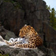 Leopard on rock — Stockfoto