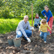 family harvesting potatoes in field — Stock fotografie