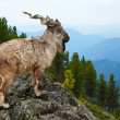 Markhor in wildness area — Stock Photo #23477675