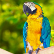 Stock Photo: Red-and-green Macaw (Archloropterus)