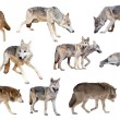 Stock Photo: Grey wolves. Isolated over white
