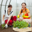 Women planting tomato spouts — Stock Photo #23478761