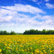 Stock Photo: Meadow with yellow dandelions