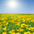 Stock Photo: Dandelions meadow in sunny summer day