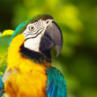 Closeup of Green-winged macaw — Stock Photo