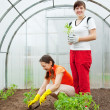 Stock Photo: Women planting seedlings in greenhouse