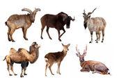 Set of Artiodactyla mammal animals — Stock Photo