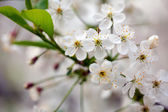 Cherry tree branch in spring — Stock Photo