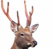 Head of Sika deer — Stock Photo