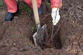 Gardener resetting sprout in soil — Stock Photo