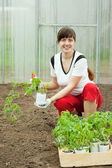 Woman planting tomato spouts — Stock Photo