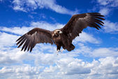 Flying black vulture against sky — Stock Photo