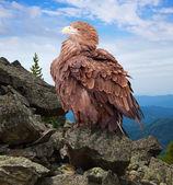 Eagle on rock — Stock Photo