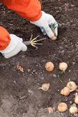 садовник устанавливает лук — Стоковое фото