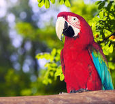 Portrait of Red-and-green Macaw — Stock Photo