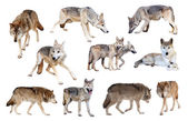 Grey wolves. Isolated over white — Stock Photo