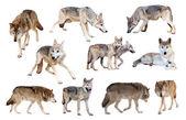 Grijze wolven. geïsoleerd over wit — Stockfoto