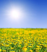 Landscape with dandelions meadow — Stock Photo