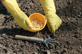 Sowing pea in soil — Stock Photo