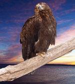 Eagle against sunset sky — Stock Photo