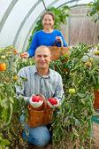 Woman and man picking tomato — Stock Photo