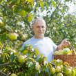 Man gathers apples in the garden - Stock Photo