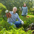 Couple harvesting carrots — Stock Photo #24184301