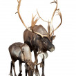 Two caribou over white background — Stock Photo