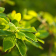 Close up of green leaves, brightly backlit — Stock Photo