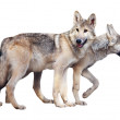 Two standing gray wolves — Stock Photo
