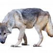 Full length of gray wolf — Stock Photo