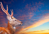 Sika dee against sunset sky — Stock Photo
